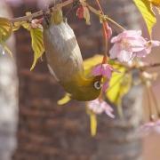 Ealry-blooming Cherry Blossom (Zakura)